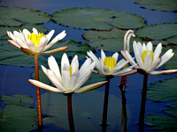 White Lillies With Yellow Centers On Pond