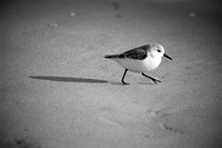 Black & White Sand Piper with Shadow copy