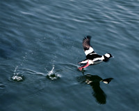 In Flight - Bufflehead Kerfuffle