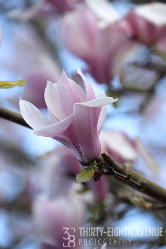 Duxbury Magnolia